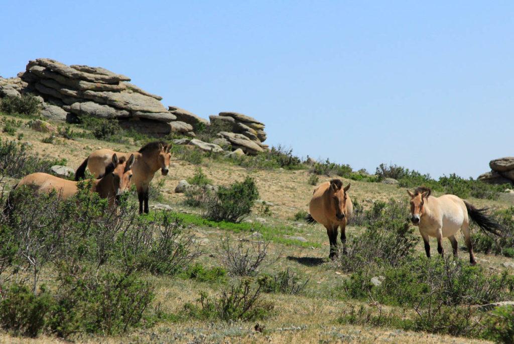 Khustai National Park Mongolia